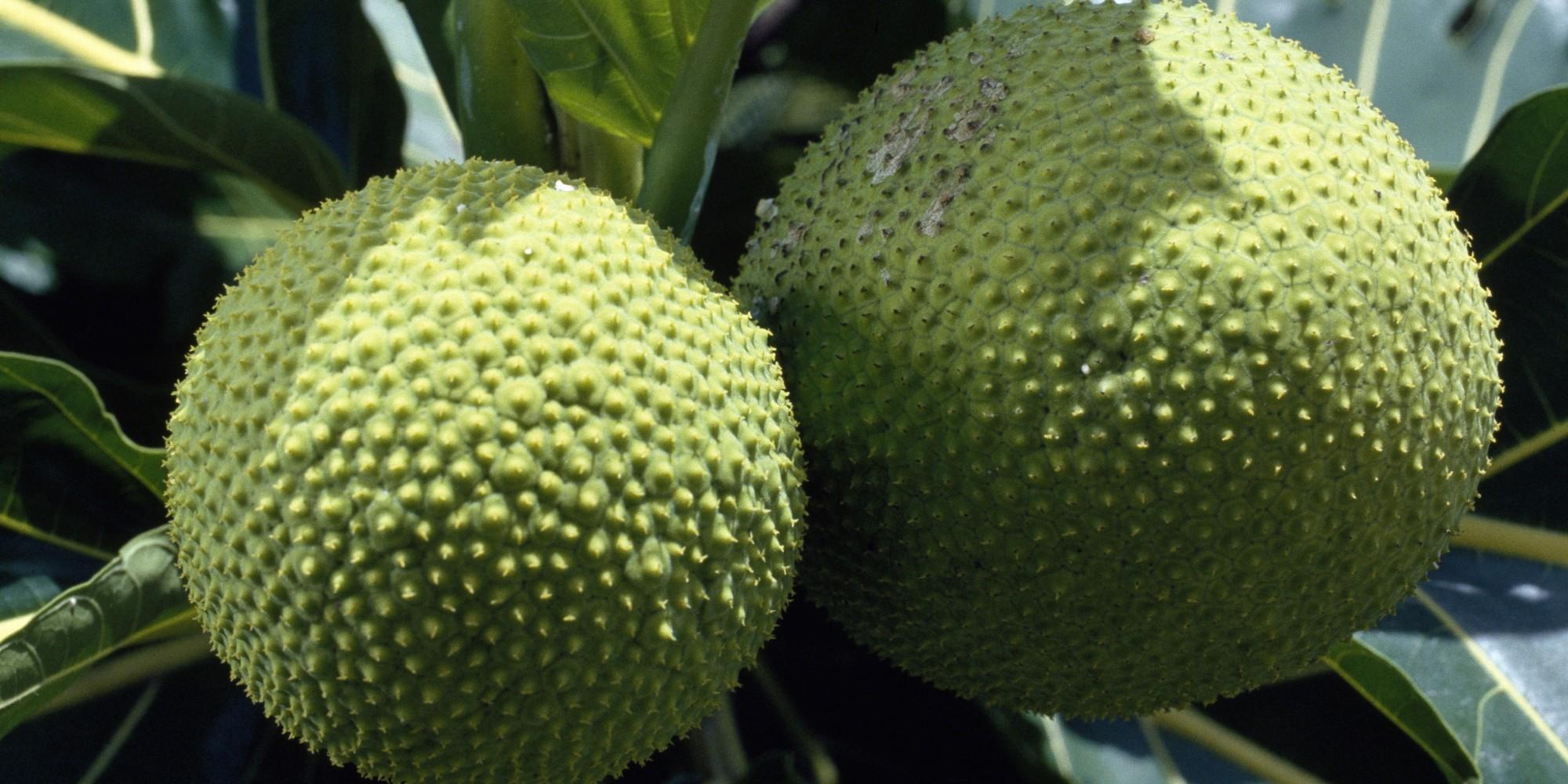Fruit of Breadfruit, Moraceae, French Polynesia